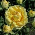 фото роз сорта Сирано де Бержерак. Cyrano de Bergerac