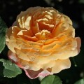 фото роз сорта Georges Denjean. Жорж Данжан