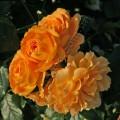 Goldelse. Голдэлс фото сорта розы
