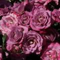 фото роз сорта Lavender Kordana. Лавандер Кордана