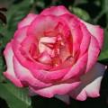 фото розы сорта Lynn Anderson.  Линн Андерсон