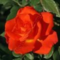 фото розы сорта Monika. Моника