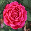 фото розы сорта Starof the Nile. Стар оф зе Нил