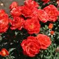фото розы сорта Super Trouper. Супер Трупер