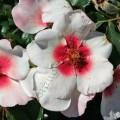 фото розы сорта Sweet Babylon Eyes. Свит Бэбилон Айс