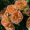 фото розы сорта Sweet Dream. Свит Дрим