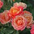 фото розы сорта Sonora. Сонора