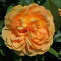 фото розы Bernstein-Rose. Бернштайн Розе