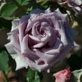 фото розы Blue Bird. Блу Бёд