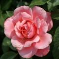 фото розы Botticelli. Ботичелли