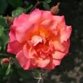 фото розы Freisinger Morgenrote. Фрайзингер Моргенрёте