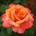 фото розы Frenesie. Френези.