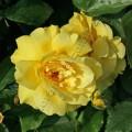 фото розы Friesia. Фрезия