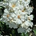 фото розы сорта Keros. Керос
