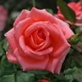 фото розы Noblesse. Ноблесс