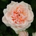 фото розы The Lady Gardener. Зе Леди Гарденер