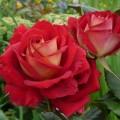 фото розы Kronenbourg. Кроненбург