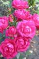 фото розы Lady Reading, Леди Ридинг