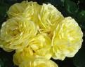 фото розы Lichtkonigin Lucia. Лихткенигин Лючия.
