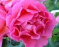 фото розы Lilian Austin. Лиллиан Остин