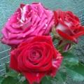 фото розы Rubi Star. Руби Стар