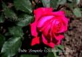 фото розы Lolita Lempicka. Лолита Лемпика
