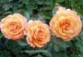 фото розы Belvedere. Бельведер