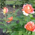 фото розы Rose des Cisterciens. Роз дес Систерсьенс