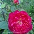 фото розы Benjamin Britten. Бенджамин Бриттен