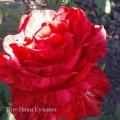 фото розы Red Intuition. Ред Интуишин