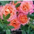 фото розы Briosa. Бриоза
