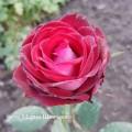 фото розы Osiria.Осирия