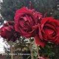 фото розы Norita. Норита