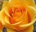 фото розы сорта Buccaneer, Баккенир.