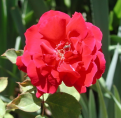 фото розы Baden - Baden, Баден - Баден.
