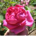 фото розы Belle Siebrecht, Белль Зибрехт