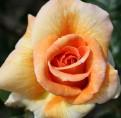 фото розы Bettina. Беттина
