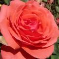 фото розы Bob Hope. Боб Хоуп
