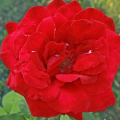 фото розы Bravo, Браво