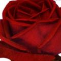 фото розы Brilliant. Брильянт.