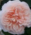 Rose de Tolbiac. Роз де Толбиак