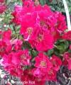 фото розы Bienenweide Rot. Биненвайде Рот.