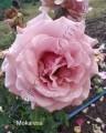 фото розы Mokarosa. Мокароза.