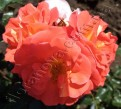 фото розы Gebruder Grimm. Гебрюдер Гримм