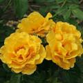 фото розы Golden Showers. Голден Шоуэрс