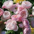фото розы Hans Gonewein Rose. Ханс Гоневейн Роуз