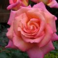 фото розы Chicago Peace, Чикаго Пис.