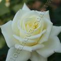 Роза сорта Полар Стар