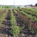 фото саженцев роз на поле