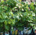 Вегитирующие саженцы винограда